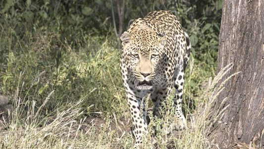 $20 million deal signed to save Arabian leopard population